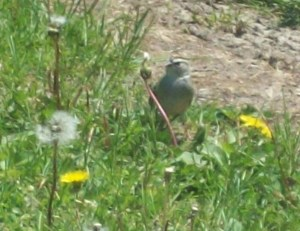 Bird eating a dandelion