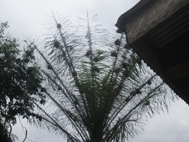 nests in palm tree